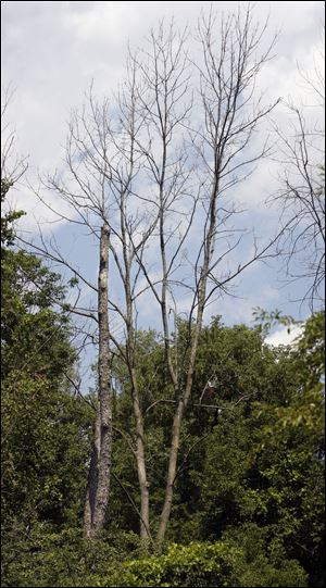Sylvania City Council rejected a federal grant to clean up hundreds of dead or dying ash trees in Harroun Park because the grant came with conditions on how the park would be managed in the future.