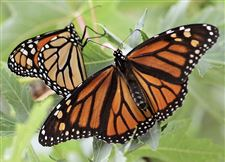 Programs-invite-public-to-help-keep-monarch-butterflies-on-their-throne-2