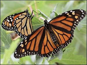To make it possible for monarch butterflies to like these to thrive in northwest Ohio and southeast Michigan, residents have created special habitats.