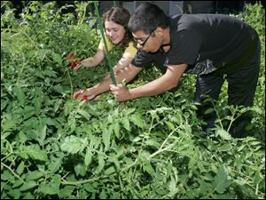 Toledo ZOOTeen Jennifer Hollen helps Kyle Hammond pick tomatoes. Friday's 'End of Summer Garden Party' featured produce from the Autism Academy of Learning's community garden.