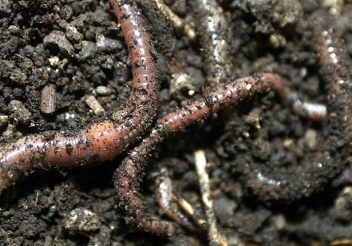 Invite Worms Over For A Garden Party Toledo Blade