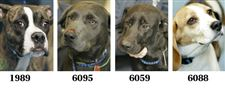 Lucas-County-Dogs-for-Adoption-12-16