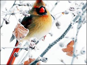 'Female Cardinal,' by Dennis Herbster, won Best of Show at the Toledo Artists' Club Winter Wonderland Show.