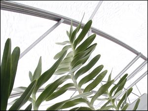 Orchid plants stretch skyward in a hot house at Taylor Orchids in Monroe, Mich.