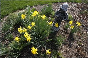 Ms. McCarty's daffodils are in full bloom in her garden.
