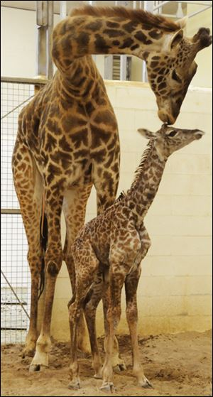 Tessa, a 4-year-old Maasai giraffe, left, and her calf were on display earlier this month at the Cincinnati Zoo.