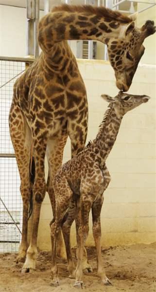 Online Voters Christen Cincinnati Zoo S Baby Giraffe Zuri