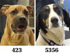 Lucas-County-Dogs-for-Adoption-4-21