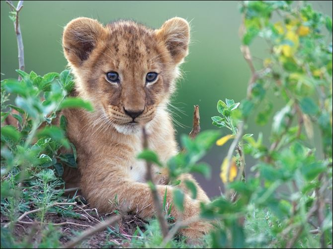 Disney's sterling filmmakers train their lenses on the Kenyan savanna A lion cub learns how to focus on potential prey in a scene from 'African Cats.'