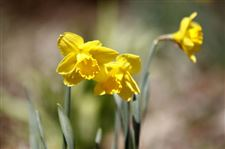 yellow-daffodils-rita-dreyer