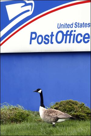 A male Canada goose named Harry patrols the post office grounds on South Detroit Avenue, where his mate, Sally, has laid her eggs near the building's entrance.