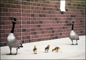 Harry, Sally, and goslings in happier times near the South Toledo Post Office, before the crash that killed Sally.