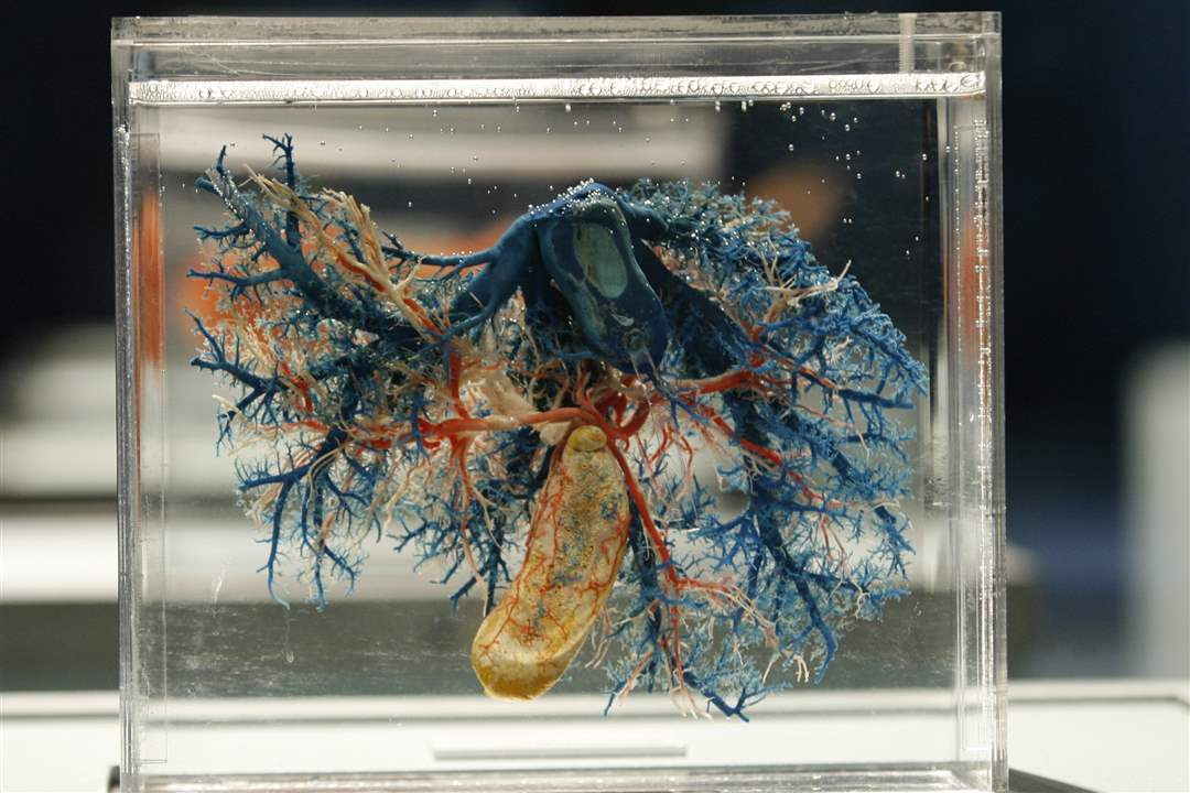 Bodies-Revealed-Exhibit-liver-and-blood-vessels