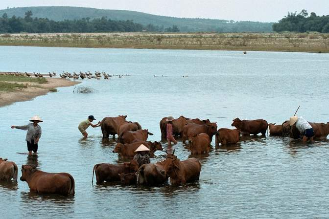Farmers-and-thier-children-wash-their-cattle-in-the-Song-Ve-River