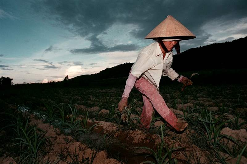 Nguyen-Thi-Que-continues-to-weed-her-cornfield