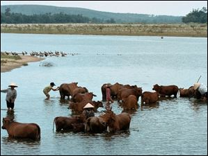 August 2, 2003-- Farmers and thier children wash their cattle in the Song Ve River.