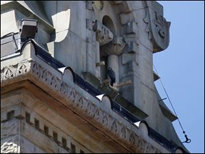 A mother peregrine falcon perches near her nest in the clock tower at the clock tower at the Wood County Courthouse in Bowling Green Wednesday.