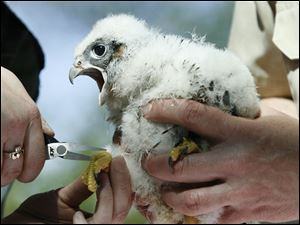 One of four falcon chicks is banded by Ohio Division of Wildlife workers.