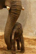 Toledo-Zoo-elephant-Renee-new-baby-trunk-rub