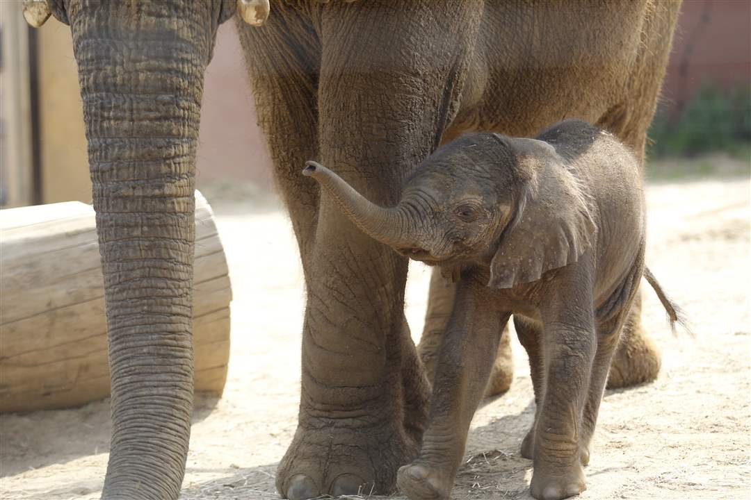 Toledo-Zoo-baby-elephant-305-pounds
