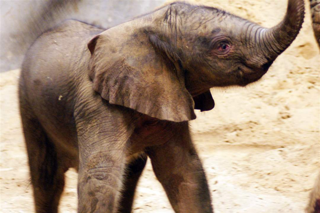 Toledo-Zoo-baby-elephant-just-after-birth