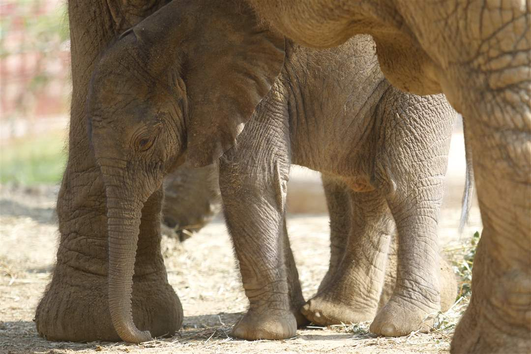 Toledo-Zoo-baby-elephant-mother-shade