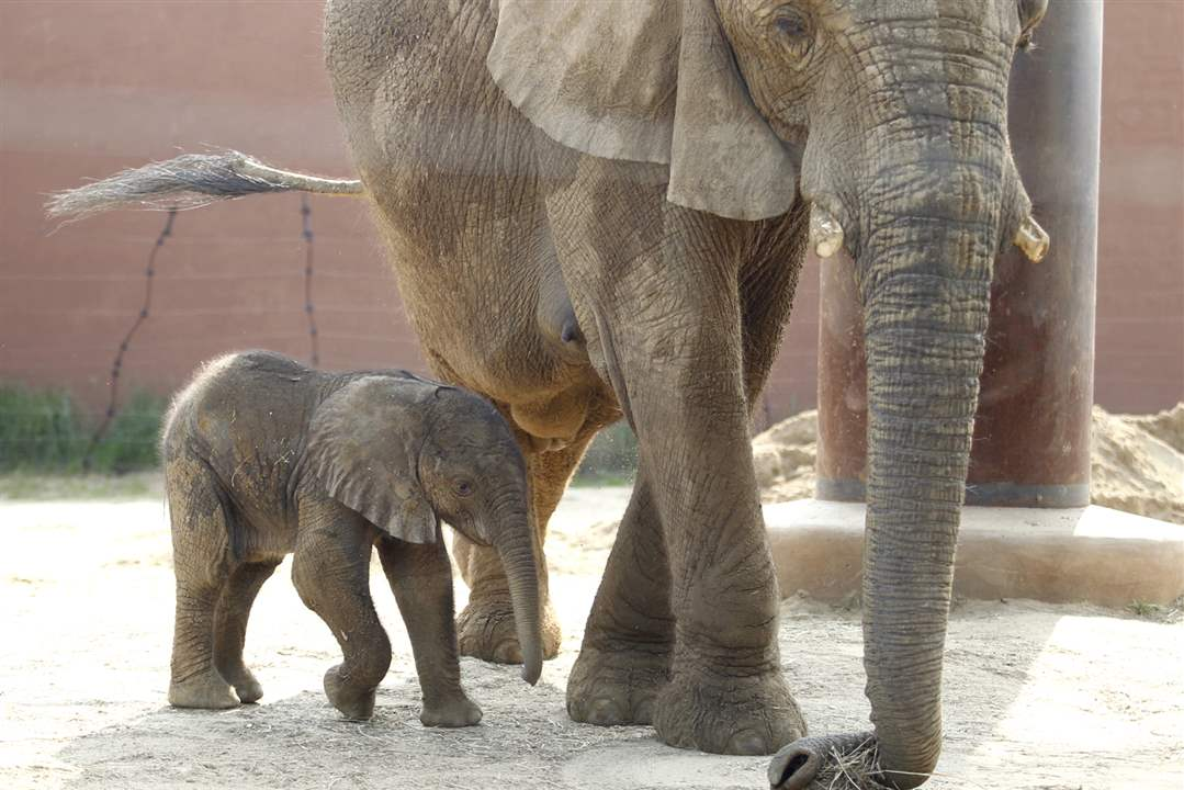 Toledo-Zoo-baby-elephant-Renee-tail