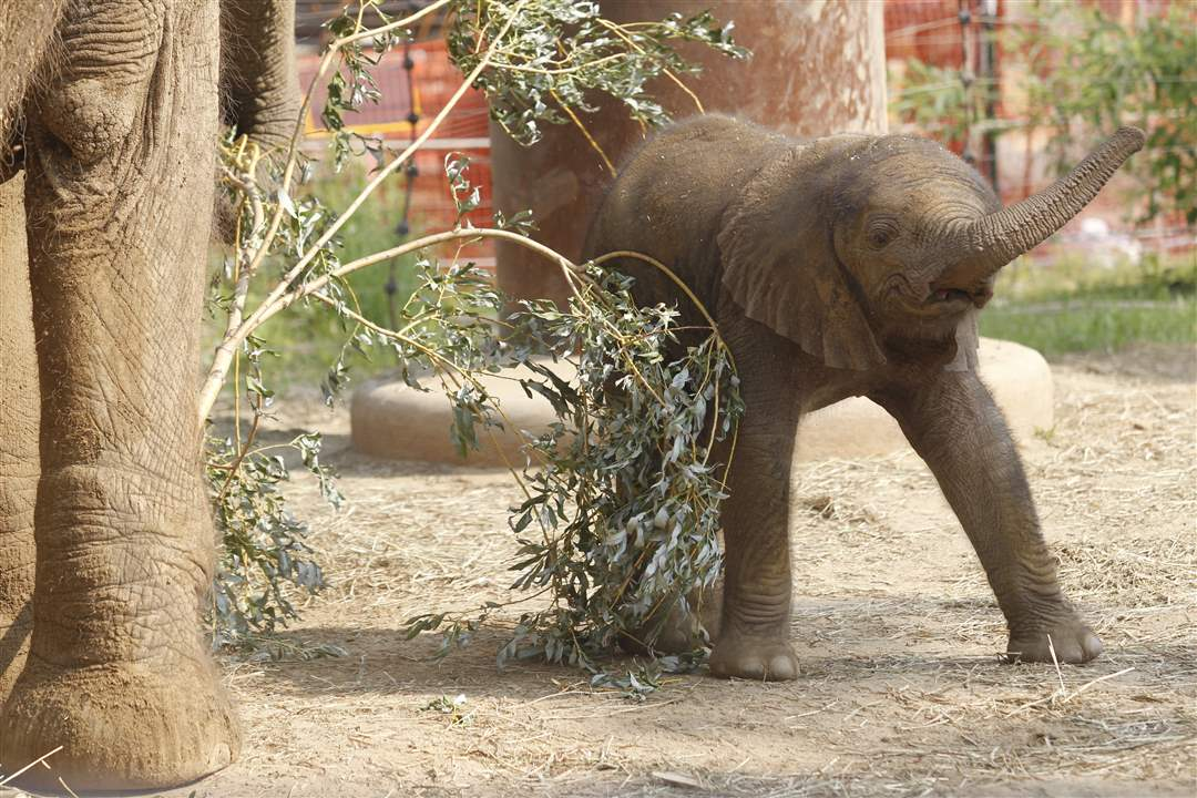 Toledo-Zoo-baby-elephant-trunk-learning