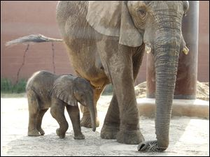 The newborn elephant at the Toledo Zoo, with 32-year-old mother Renee, was on public display Tuesday for the first time since being born Friday night.