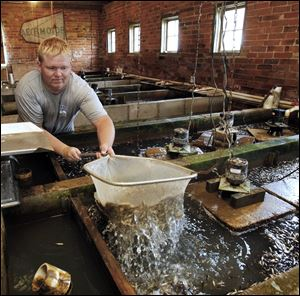 Tim Ohlrich scoops up fathead minnows at the Fin Farm fish hatchery in Napoleon, Ohio.