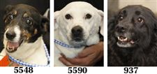 Lucas-County-Dogs-for-Adoption-6-17