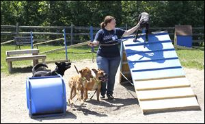 Staff behaviorist Aja LeBarr works with dogs in the dog play group at the Toledo Area Humane Society.