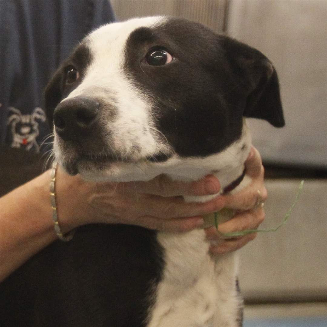 Lucas County Dogs for Adoption: 7-8 - The Blade
