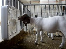 boer-goat-Warren-County-Fair-fan