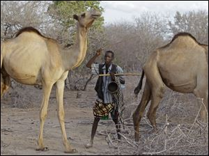 A man herds his camels near  the border town of Dadaab, Kenya.