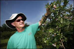Steve Elzinga checks out the blueberries at Erie Orchards.