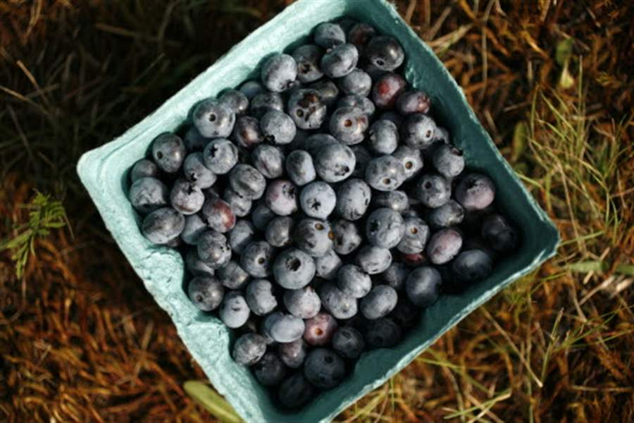 blueberries-from-erie-orchards-07-26-2011
