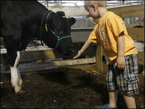 A young fairgoer makes friends with a 7-month-old Holstein calf in the barn at the Lucas County Fair.