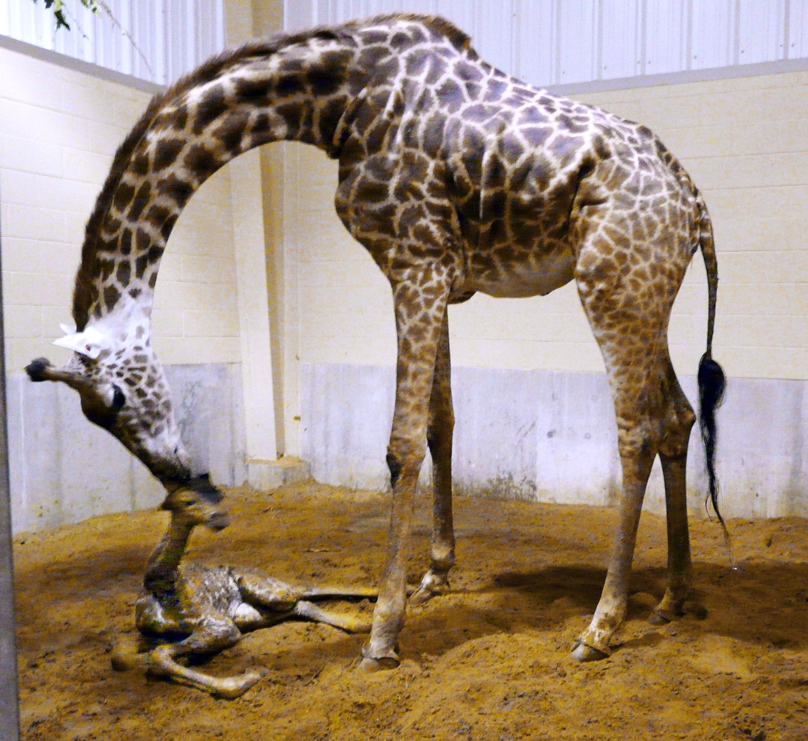 toledo zoo giraffe gives birth to lb baby girl the blade toledo zoo enlarge the