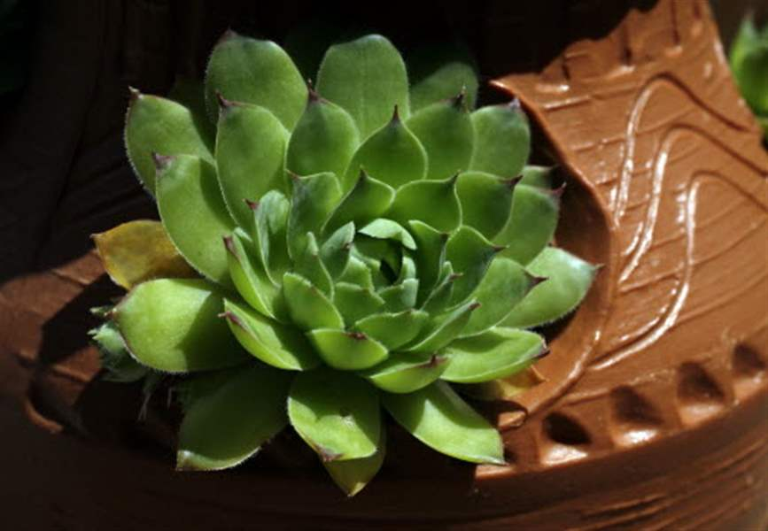 Hens-and-chicks-in-a-decorative-flower-pot
