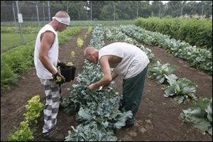 Sandusky County Jail inmates Mike Perin, left, and John Smith pick broccoli in the prison garden Monday, in Fremont, Ohio.