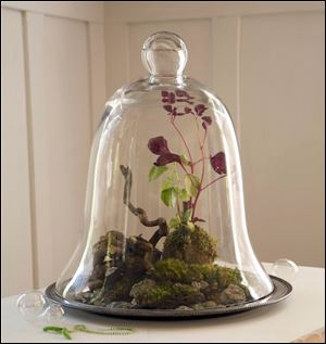 A glass cloche, or bell-shaped jar shelters a landscape of moss, stones and two species of peperomia, Bloody Mary and Variegata,  from