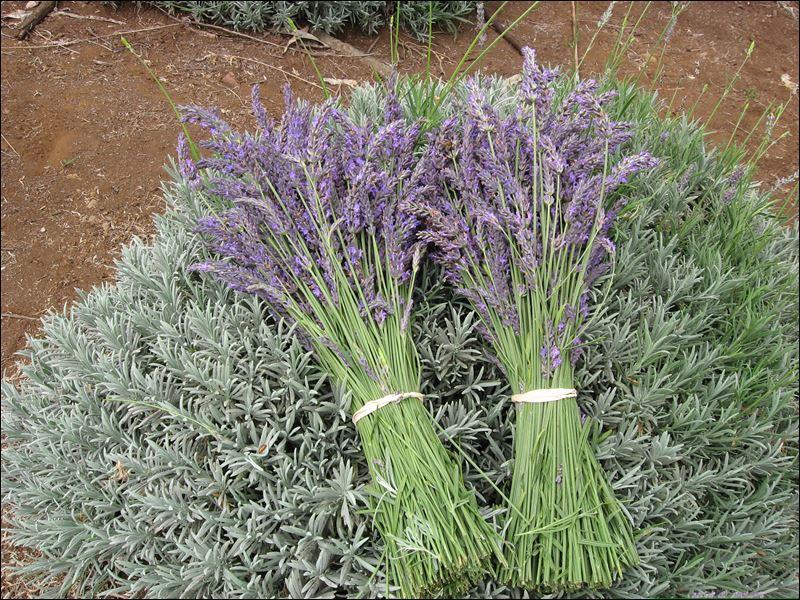Lavender Is Popping Up In All Sorts Of Places Toledo Blade