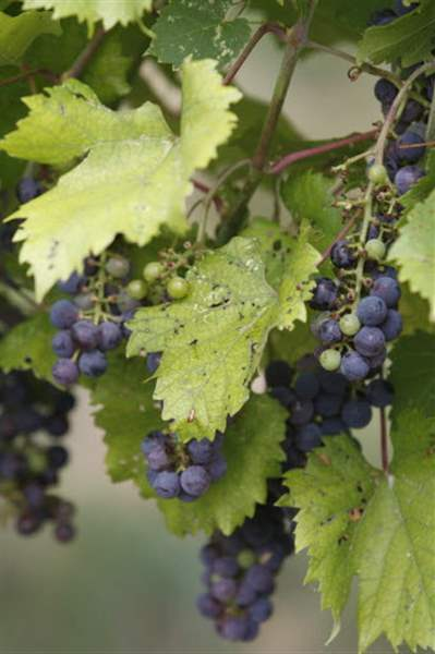 red-grapes-08-13-2011