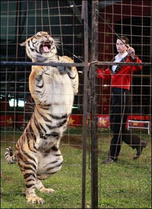 A trainer and tiger perform their act.