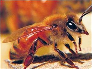 An Italian honey bee.