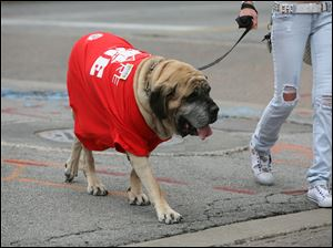A pooch joins the protest of Ohio's anti-collective bargaining law.