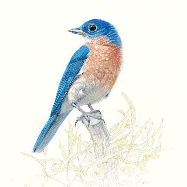bill-kuhlam-eastern-bluebird-perched