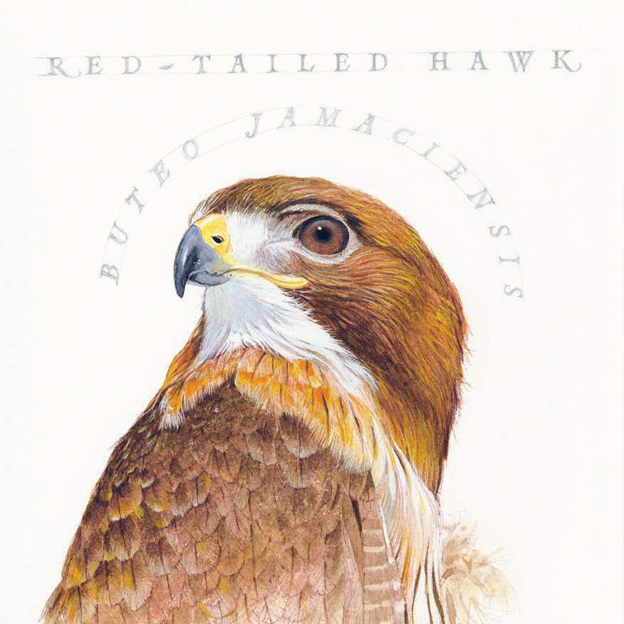 bill-kuhlman-red-tailed-hawk
