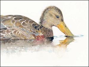 Northern shoveler duck.